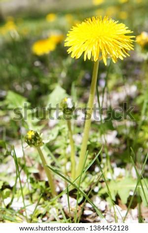 dandelion yellow flowers in fields