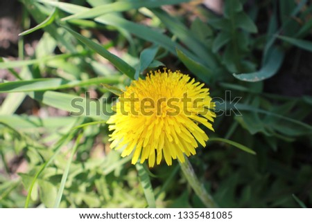 Dandelion - Yellow Spring Flower