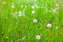 Dandelions and green grass . Summer uncultivated plants