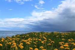 Dandelions by the sea before the storm