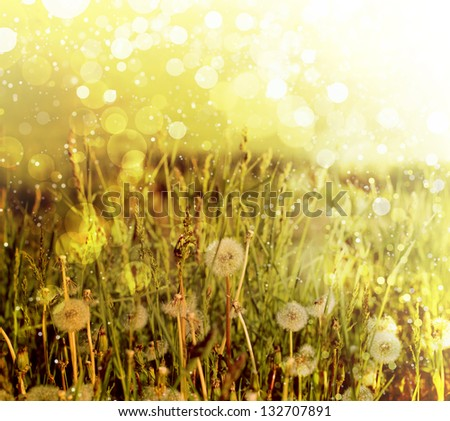 Dandelions flower against sun beam/ Spring backgrounds/Daisy flowers on meadow in green grass