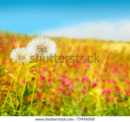 Dandelions flowers field, spring landscape of wildflower meadow