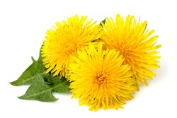 Dandelions flowers with dandelion leaf isolated on white background.