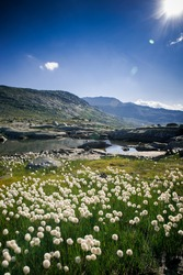 Dandelions in Norway. White fluffy flowers in the mountains of Norway. Nature of the Arctic in summer