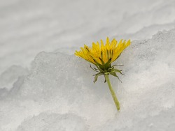 Dandelions in the deep snow
