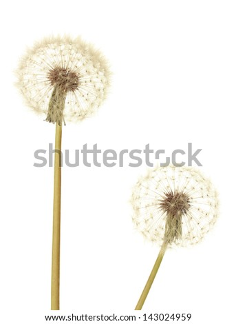 Dandelions isolated on white