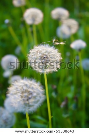 dandelions on a green background