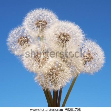 Dandelions on blue sky background