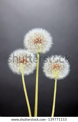 Dandelions on grey background