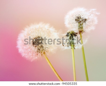 Dandelions on pastel background