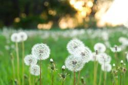dandelions on the field