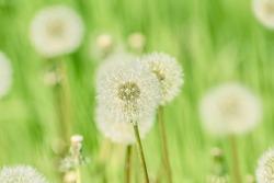 Dandelions on the Green Field