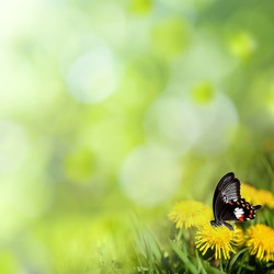dandelions with butterfly in the meadow