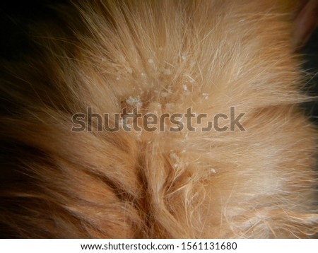Dandruff hair in a brown rabbit due to Cheyletiella mites in veterinary clinic of exotic pets animal Foto stock ©
