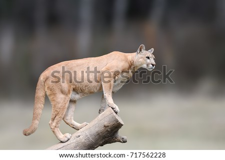 Danger Cougar sitting on branch in the autumn forest background. Big wild cat in nature habitat. Puma concolor, known as mountain lion, puma, panther. Wildlife scene, nature.