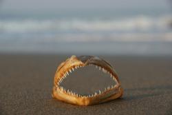 danger on the beach, fish teeth, fish jaw,  jawbone of predator on wet sand