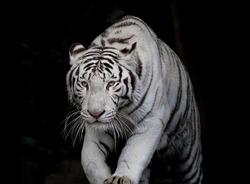 Danger white tiger on black background.
