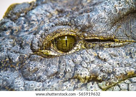 dangerous alligator with eye detail
