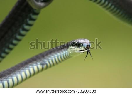 Dangerous Boomslang Snake With Tongue Flicking Stock Ph