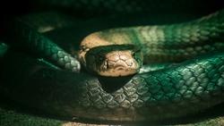 Dangerous cobra snake looking at me