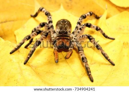 Dangerous creepy  tarantula Lycosa singoriensis on yellow leaves #734904241