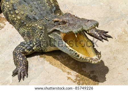 Dangerous crocodile - stock photo