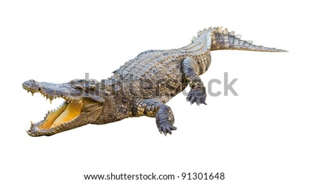 Dangerous crocodile open mouth isolated with clipping path