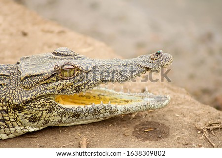 dangerous crocodile with open mouth ready to hunt at Kruger National Park, South Africa stock photo