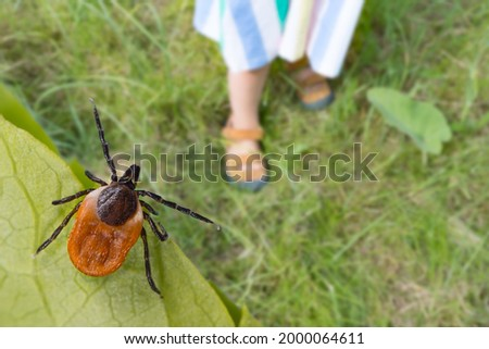 Dangerous deer tick and small child legs in summer shoes on grass. Ixodes ricinus. Parasite hidden on green leaf and little girl foots in sandals on lawn in nature park. Tick-borne disease prevention.