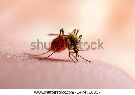 Dangerous Dengue Infected Mosquito Bite on Green Background. Leishmaniasis, Encephalitis, Yellow Fever, Dengue, Malaria Disease, Mayaro or Zika Virus Infectious Culex Mosquito Parasite Insect Macro.