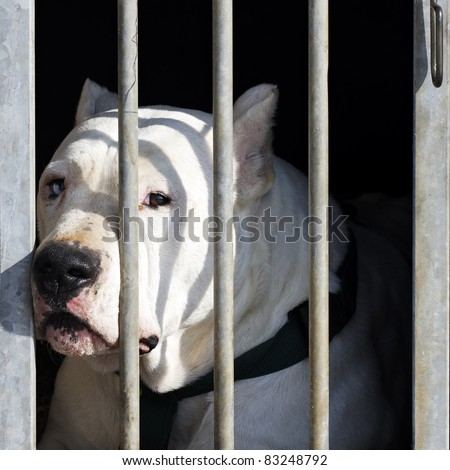 dangerous dog with big head in a cage