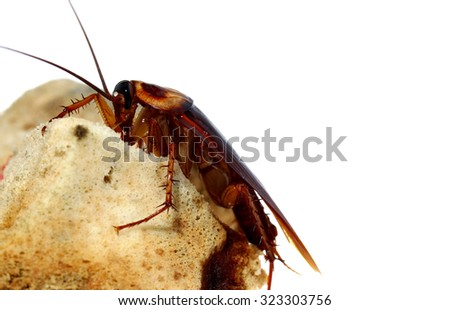 dangerous from Brown Cockroach on spoiled food #323303756