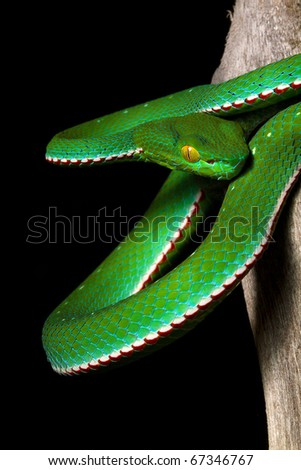 dangerous green poisonous snake with yellow eyes ready to strike : Vogel's Pit Viper (Trimeresurus vogeli)