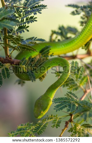 Stock Photo dangerous green snake in a tree