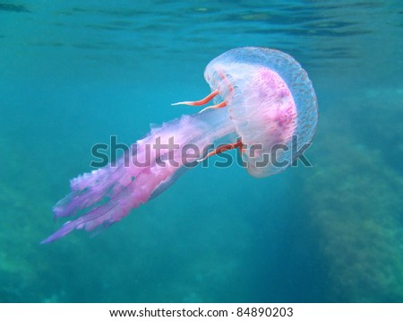 Dangerous jelly fish Pelagia Noctiluca near surface, Mediterranean sea, Corsica, France
