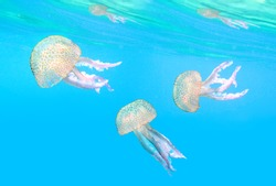 Dangerous jellyfish known as The Mauve Stinger, Pelagia noctiluca floating in mediterranean sea.