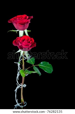 Dangerous love symbolised by barbed wire curling around two roses