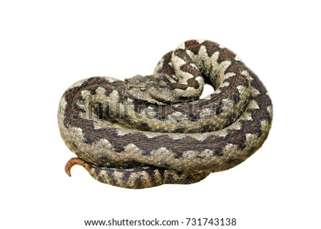 Stock Photo dangerous nose horned adder, one of the deadliest snakes in Europe, isolated over white background  ( Vipera ammodytes )