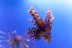 Dangerous poisonous fish swimming blue background. Red lionfish Pterois miles in ocean. soft focus, copy space.