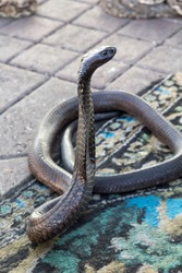 Dangerous poisonous snakes such as cobras and vipers roam freely in the most famous square in Marrakech in Morocco