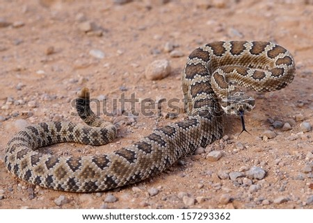 Dangerous rattle snake, coiled and ready to strike - Great Basin Rattlesnake, Crotalus oreganus lutosus