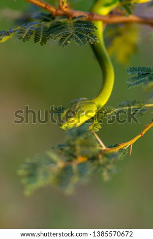Stock Photo dangerous snake in a tree ready to attack