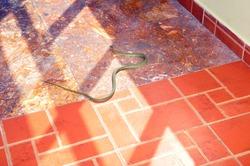 Dangerous snake slithering on hotel floor on the southeast of Vietnam