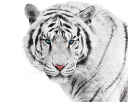 Dangerous white tiger