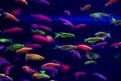 Danio glow fish color nature relax pets home  freshwater aquarium