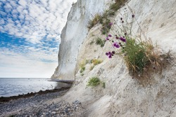 Danish coastline with beach full of stones and a big white cliff on a cloudy and grey day with beautiful purple flowers