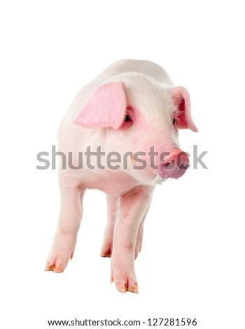 Danish Landrace little pig breeds. Muzzle stained milk. Isolated on white background