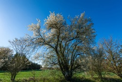 Danish Mirabel trees with white flowers. The beautiful white flower, stands in beautiful contrast to the blue sky. The trees spring out in March and April