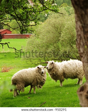 danish sheep on a field in the summer
