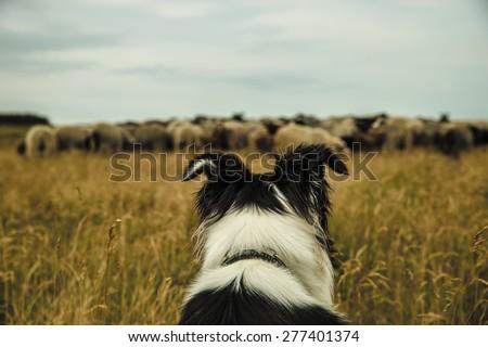 danish sheepdog Stockfoto ©